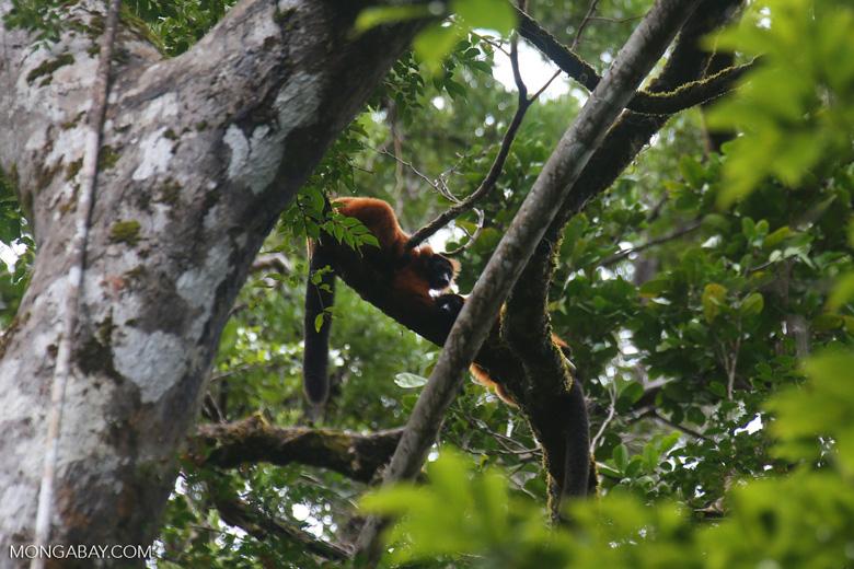 Red-ruffed lemurs [madagascar_masoala_0274]