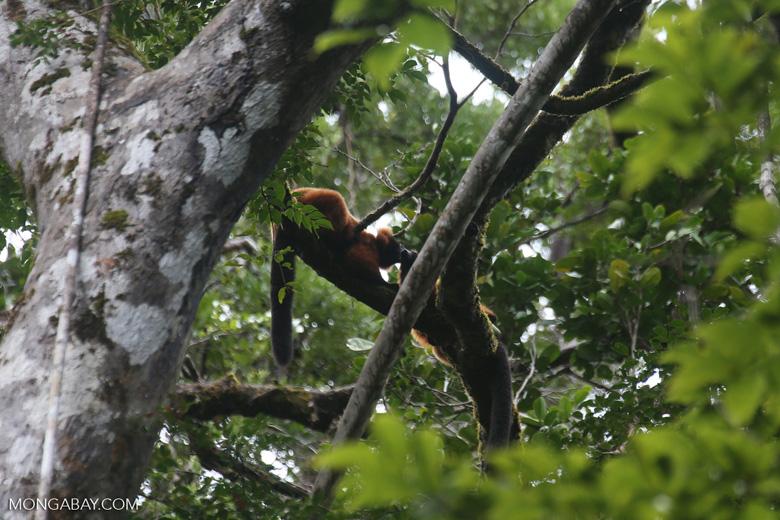 Red-ruffed lemurs [madagascar_masoala_0275]