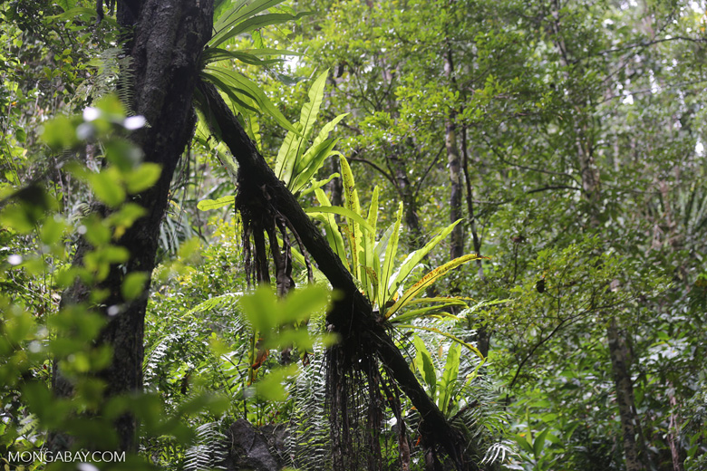 Birdnest ferns in Madagascar's rainforest [madagascar_masoala_0287]