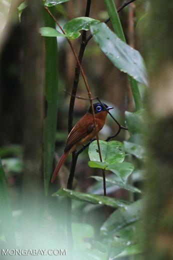 Female Madagascar paradise flycatcher [madagascar_masoala_0297]