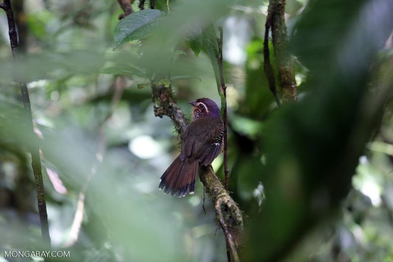 Short-legged Ground Roller (Brachypteracias leptosomus) [madagascar_masoala_0302]