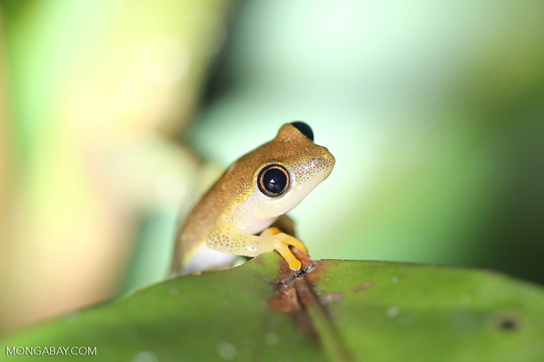 Frogs [madagascar_masoala_0394]