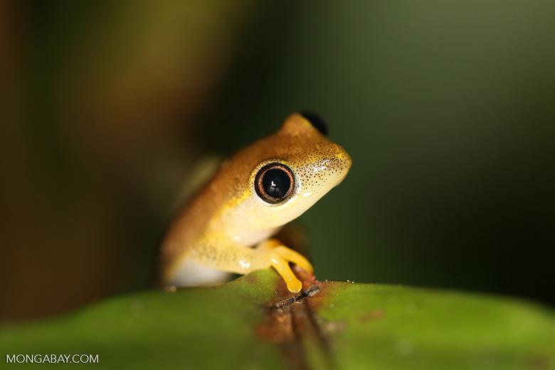 Frogs [madagascar_masoala_0395]