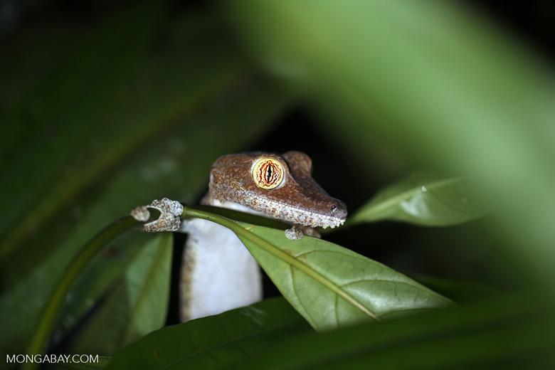 Uroplatus fimbriatus gecko [madagascar_masoala_0405]