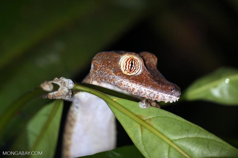 Uroplatus fimbriatus gecko [madagascar_masoala_0406]