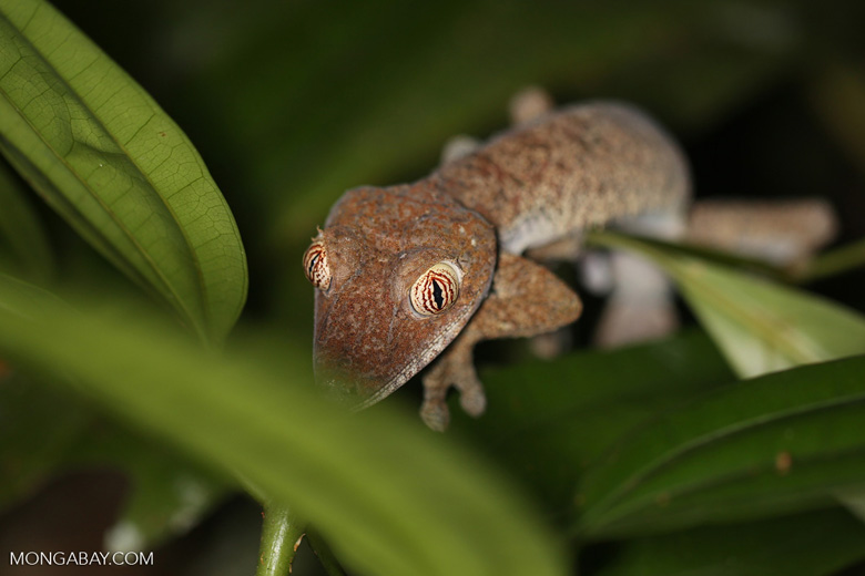 Uroplatus fimbriatus gecko [madagascar_masoala_0411]