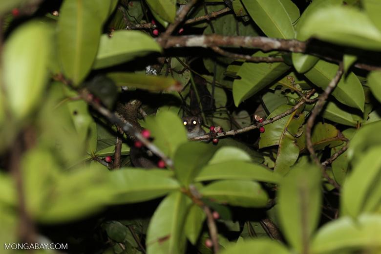Greater dwarf lemur (Cheirogaleus major) [madagascar_masoala_0433]