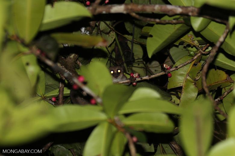 Greater dwarf lemur (Cheirogaleus major) [madagascar_masoala_0435]