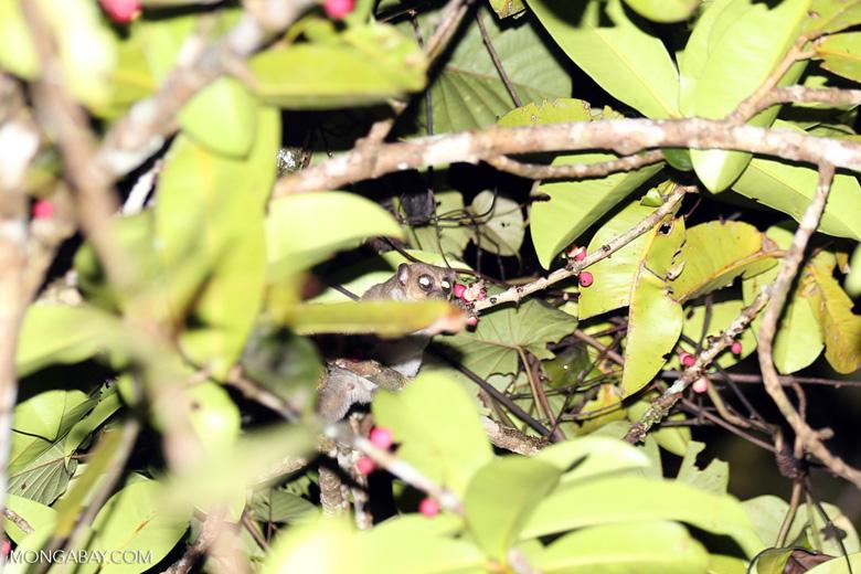 Greater dwarf lemur (Cheirogaleus major) [madagascar_masoala_0440]