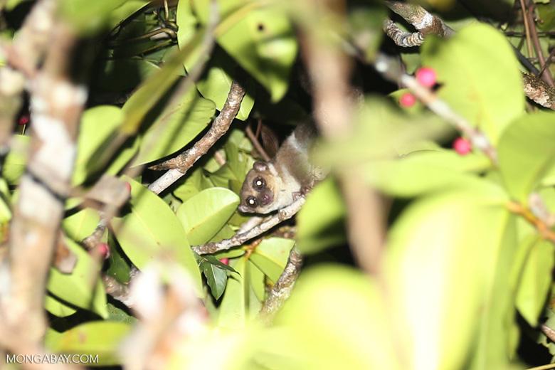 Greater dwarf lemur (Cheirogaleus major) [madagascar_masoala_0449]