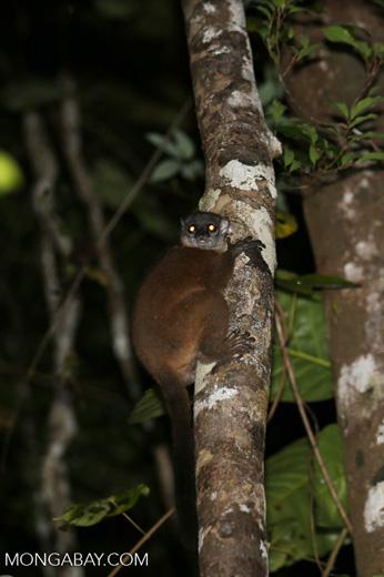 Scott's Sportive Lemur (Lepilemur scottorum) [madagascar_masoala_0458]