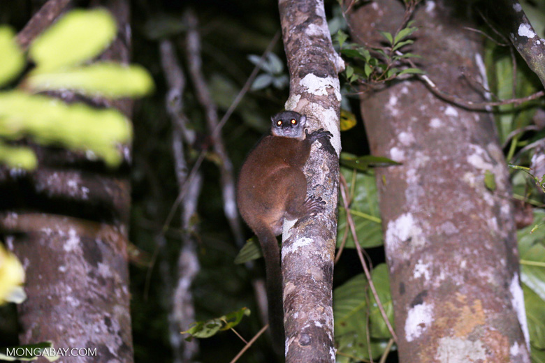 Scott's Sportive Lemur (Lepilemur scottorum) [madagascar_masoala_0459]