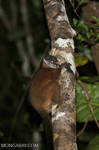 Scott's Sportive Lemur (Lepilemur scottorum) [madagascar_masoala_0468]
