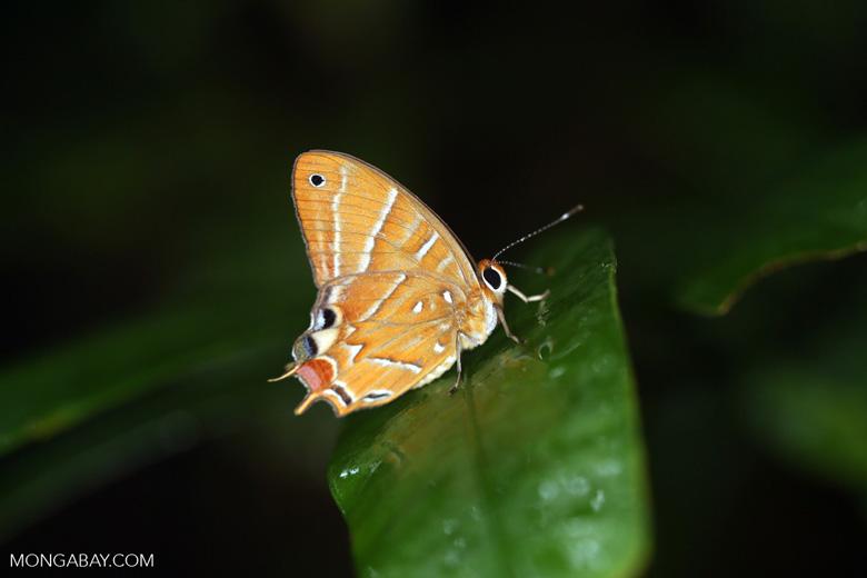 Butterfly [madagascar_masoala_0495]