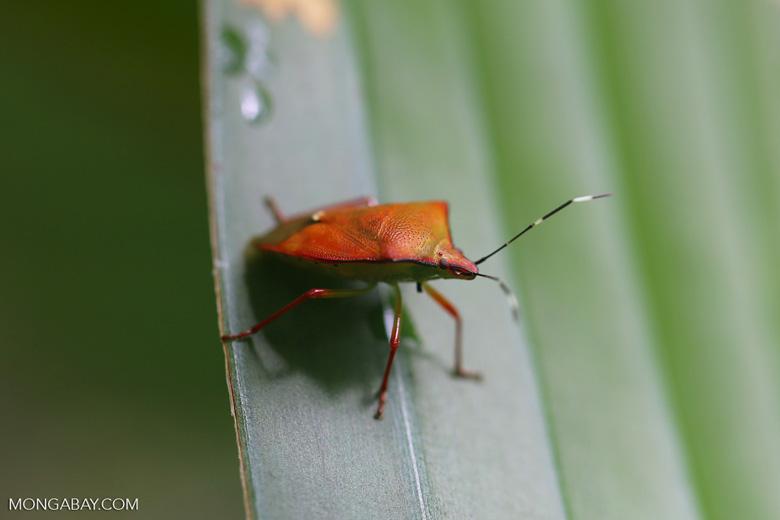 Shield bug [madagascar_masoala_0508]