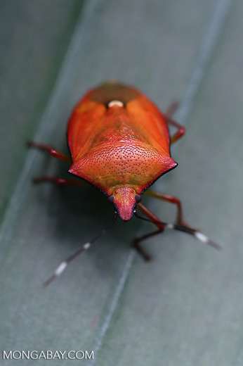 Shield bug [madagascar_masoala_0517]