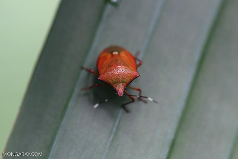 Shield bug [madagascar_masoala_0520]