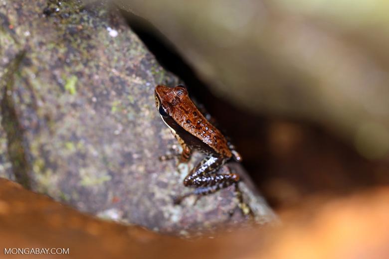 Mantidactylus opiparis [madagascar_masoala_0544]