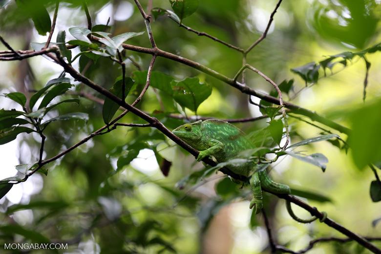 Parson's chameleon [madagascar_masoala_0646]
