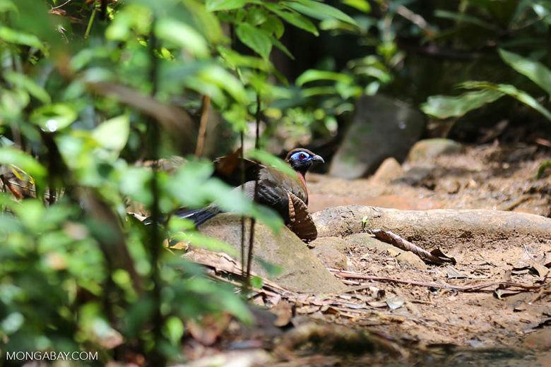 Crested Coua (Coua cristata) [madagascar_masoala_0650]