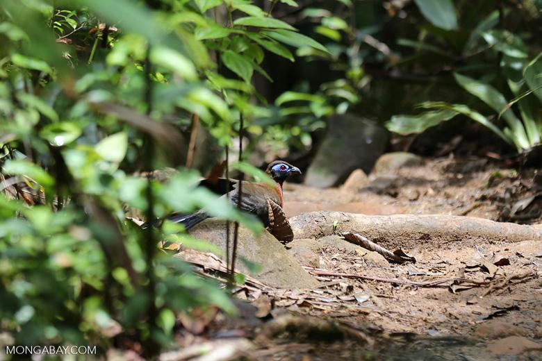 Crested Coua (Coua cristata) [madagascar_masoala_0651]