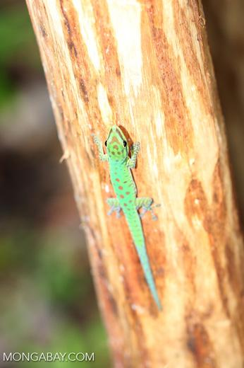 Speckled day gecko (Phelsuma guttata)