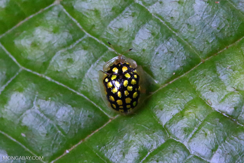 Black Tortoise beetle with yellow polkadots [madagascar_masoala_0658]