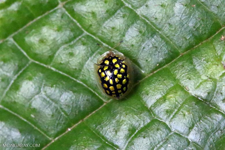 Black Tortoise beetle with yellow polkadots [madagascar_masoala_0659]