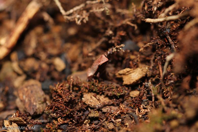Plethodontohyla notosticta frog [madagascar_masoala_0766]