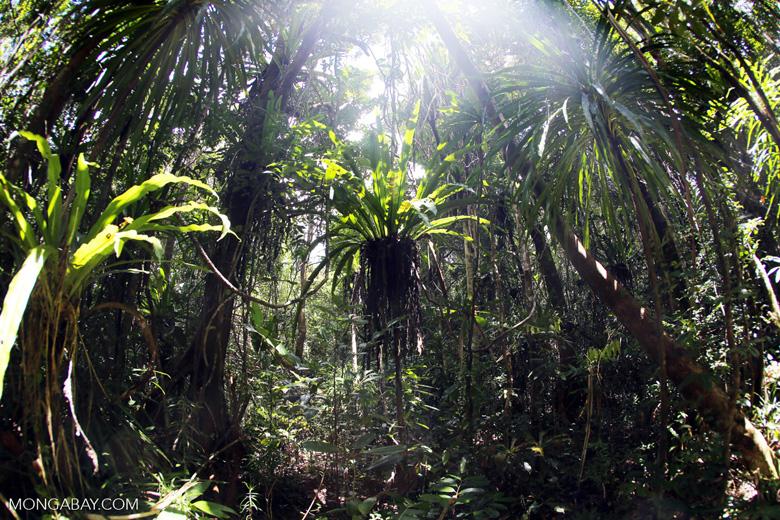 Tampolo rainforest [madagascar_masoala_0851]