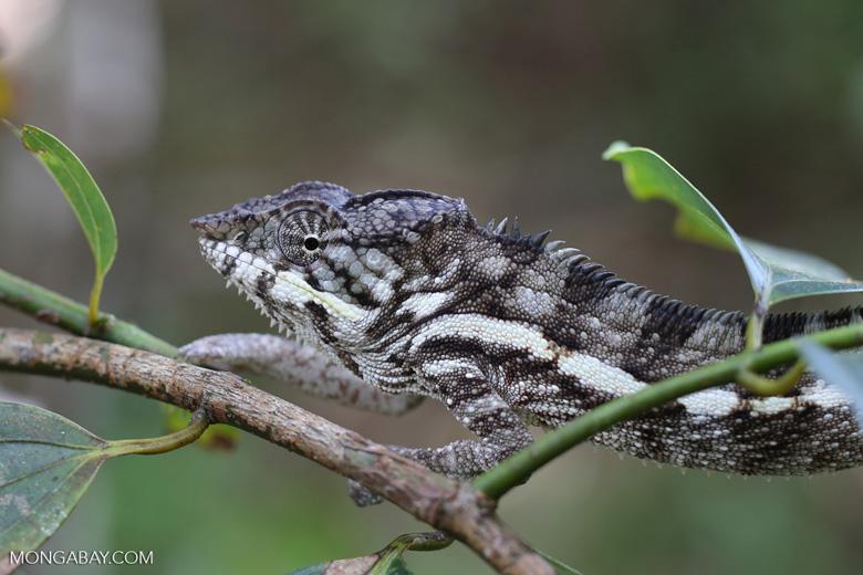 Panther chameleon [madagascar_masoala_0883]