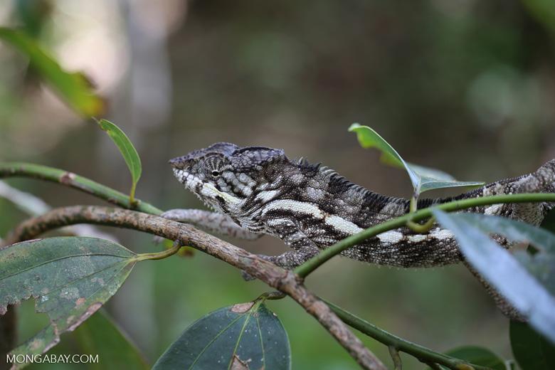 Panther chameleon [madagascar_masoala_0884]