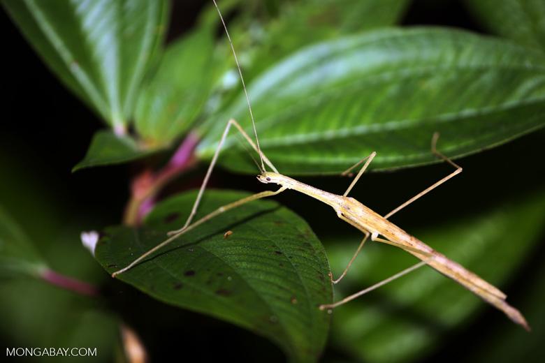 Stick insect [madagascar_masoala_0919]