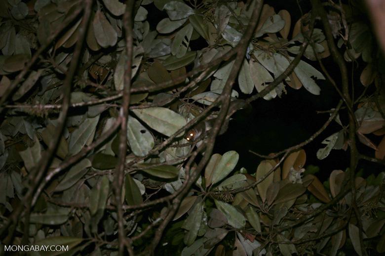 Greater dwarf lemur (Cheirogaleus major) [madagascar_masoala_0937]