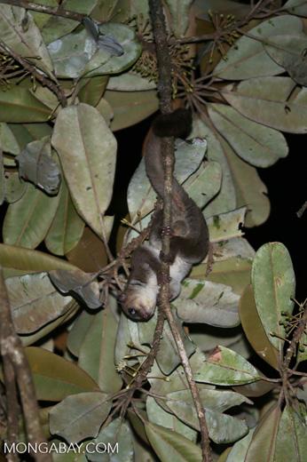 Greater dwarf lemur (Cheirogaleus major) [madagascar_masoala_0948]