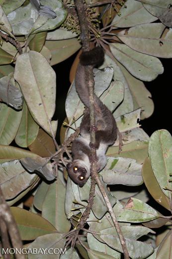 Greater dwarf lemur (Cheirogaleus major) [madagascar_masoala_0949]