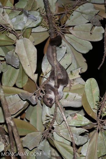 Greater dwarf lemur (Cheirogaleus major) [madagascar_masoala_0950]