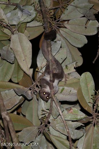Greater dwarf lemur (Cheirogaleus major) [madagascar_masoala_0951]