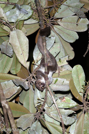 Greater dwarf lemur (Cheirogaleus major) [madagascar_masoala_0952]