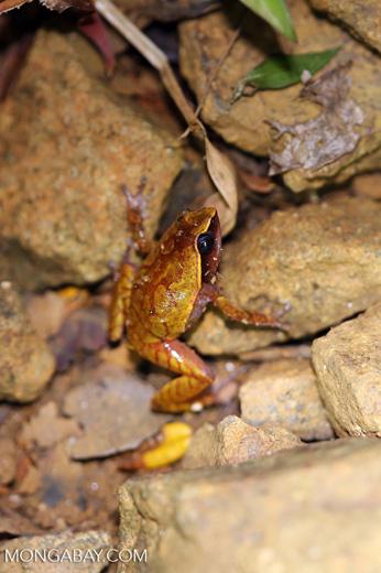 Plethodontohyla notosticta frog [madagascar_masoala_0961]