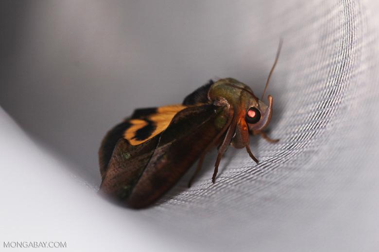 Madagascar moth with an orange mask-marking on its back [madagascar_masoala_1018]