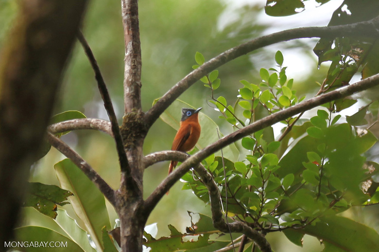Female Madagascar flycatcher in the rainforest
