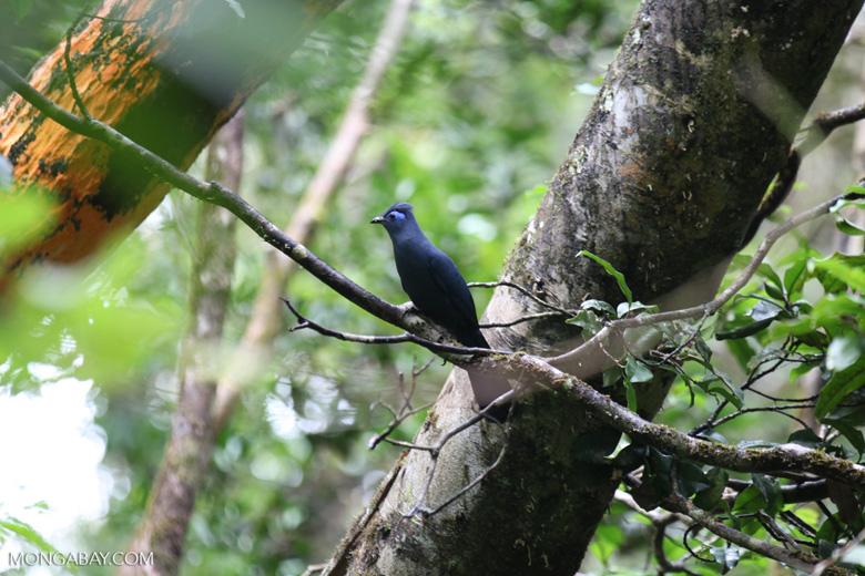 Blue Coua (Coua caerulea) [madagascar_masoala_1040]