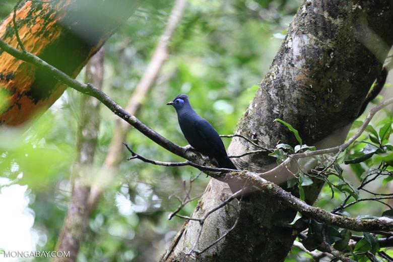 Blue Coua (Coua caerulea) [madagascar_masoala_1041]