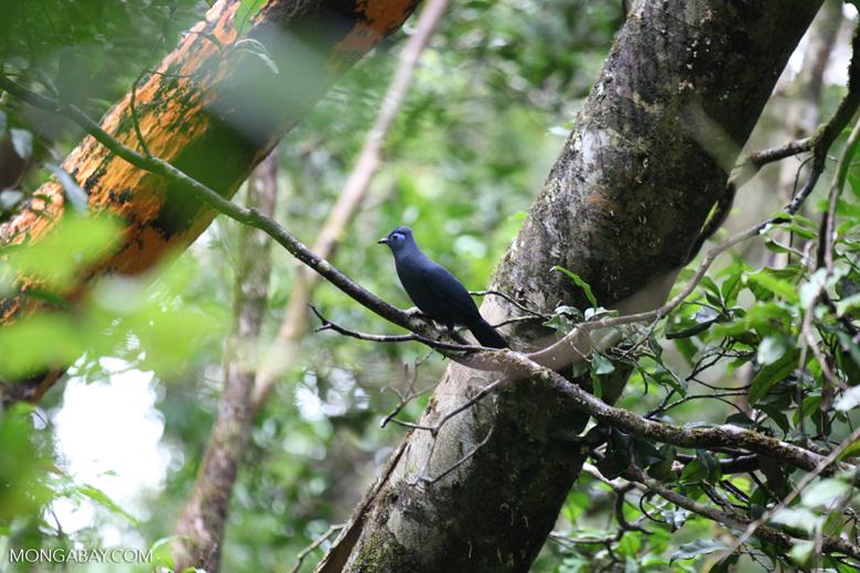 Blue Coua (Coua caerulea) [madagascar_masoala_1045]