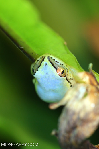Powder Blue Reed Frog (Heterixalus madagascariensis)