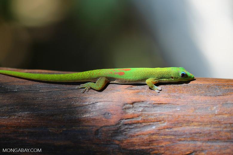 Gold dust day gecko (Phelsuma laticauda) [madagascar_nosy_komba_0033]
