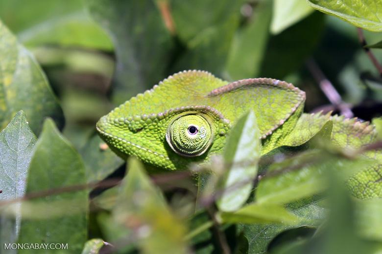 Juvenile Furcifer pardalis chameleon [madagascar_nosy_komba_0038]
