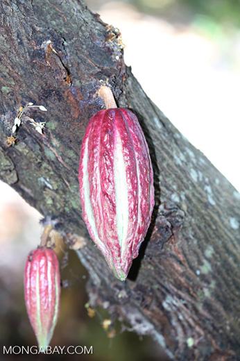 Cacao pods [madagascar_nosy_komba_0045]