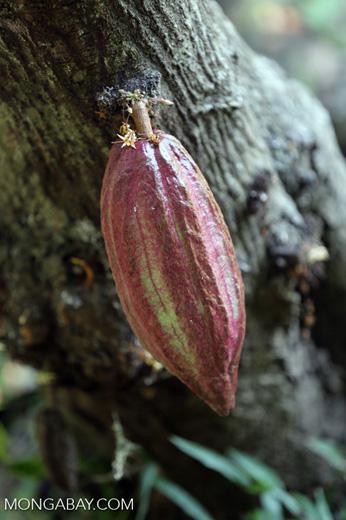 Cacao pods [madagascar_nosy_komba_0046]